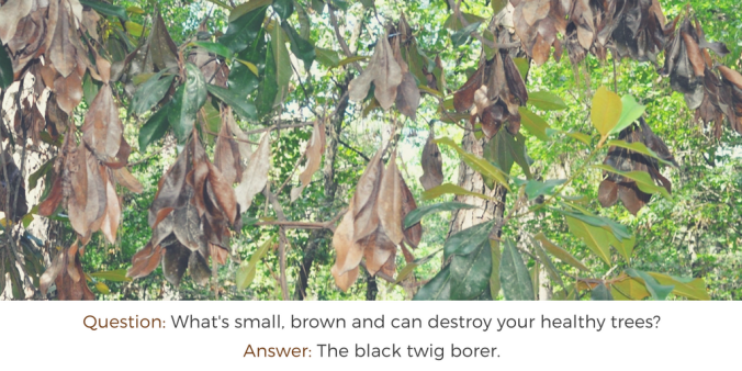 question-whats-small-brown-and-can-destroy-your-healthy-trees-answer-the-black-twig-borer