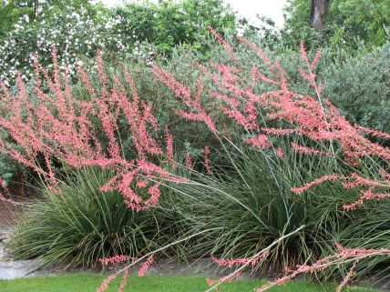 Texas Red Yucca is a striking landscape plant