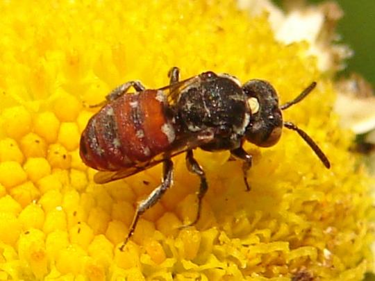 Ground Bee on Oxeye Sunflower