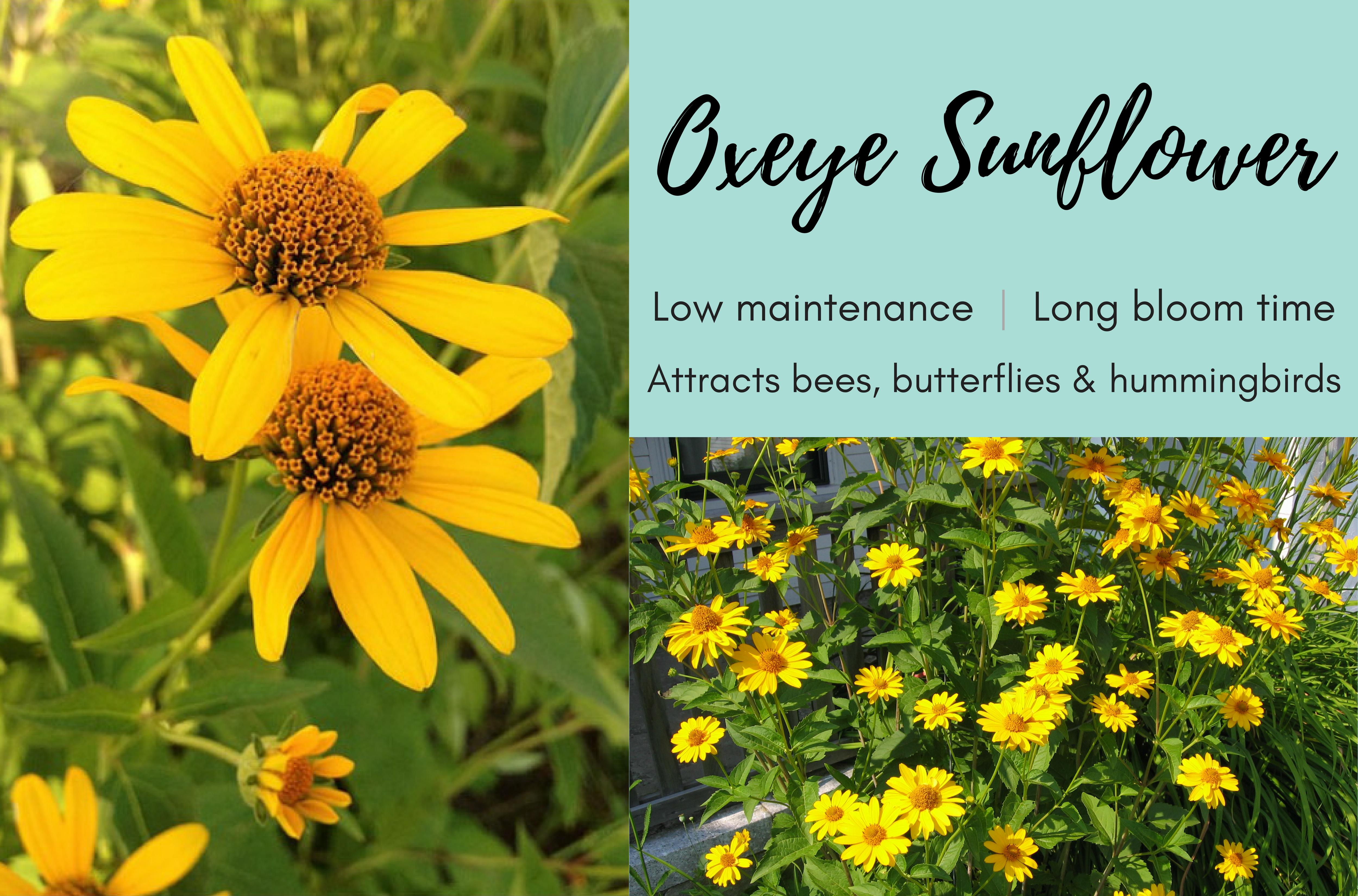 Oxeye Sunflower (1)