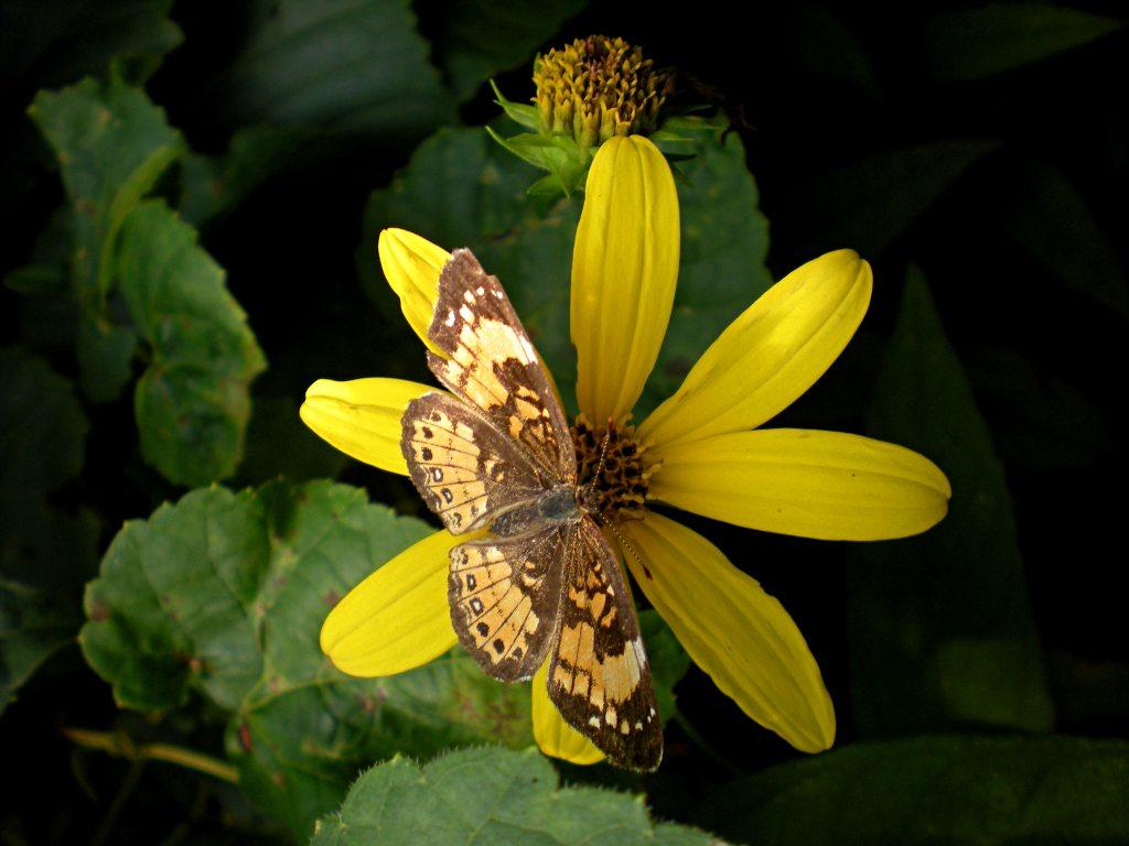 Nectar source for butterflies