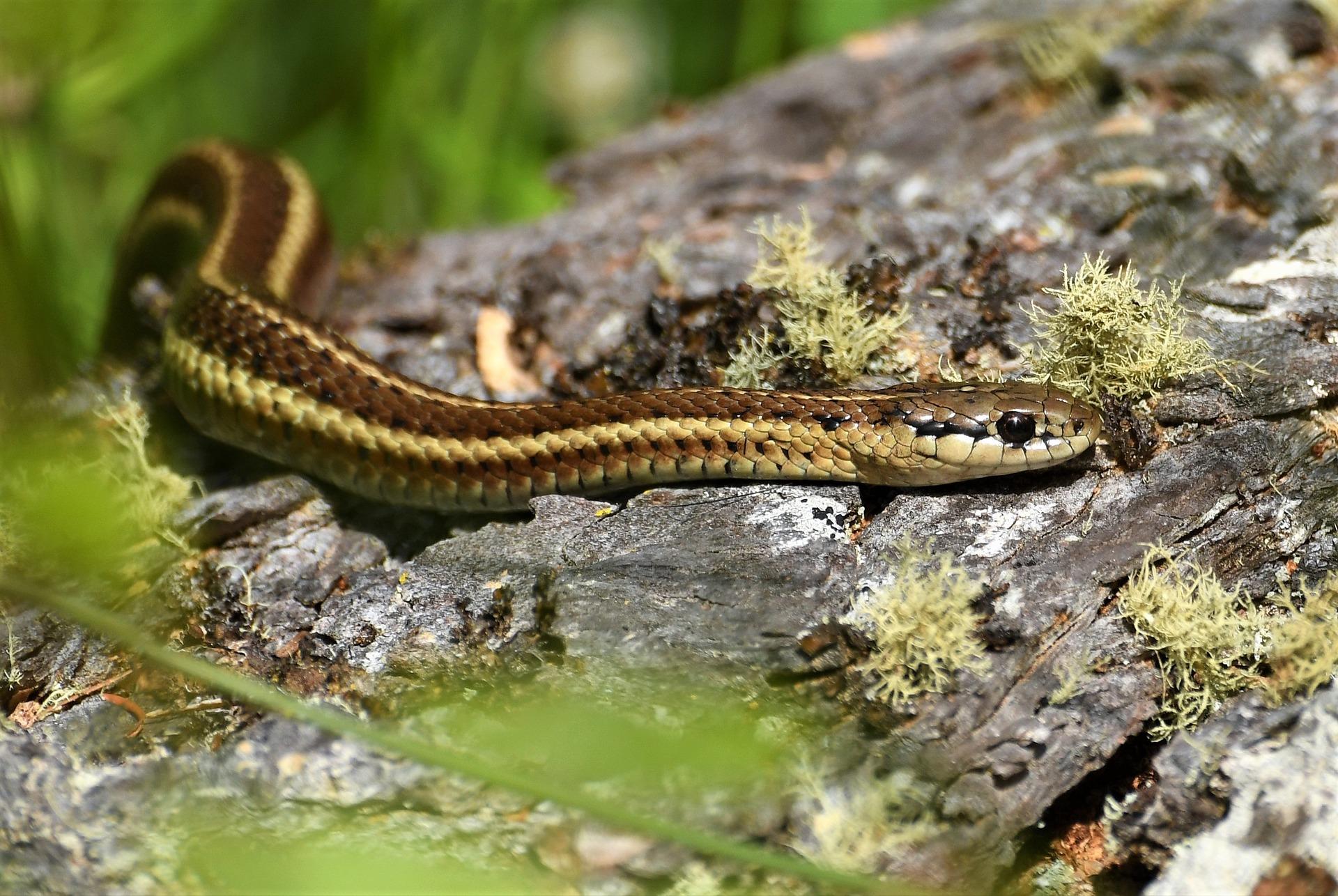 garter-snake-3546237_1920