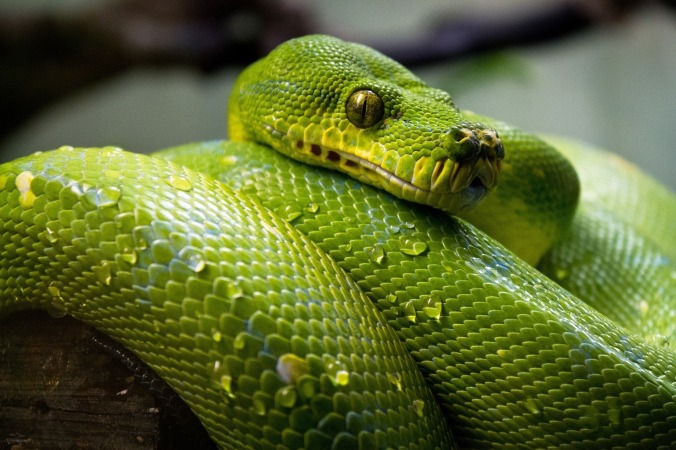 green-tree-python-1014229_1920