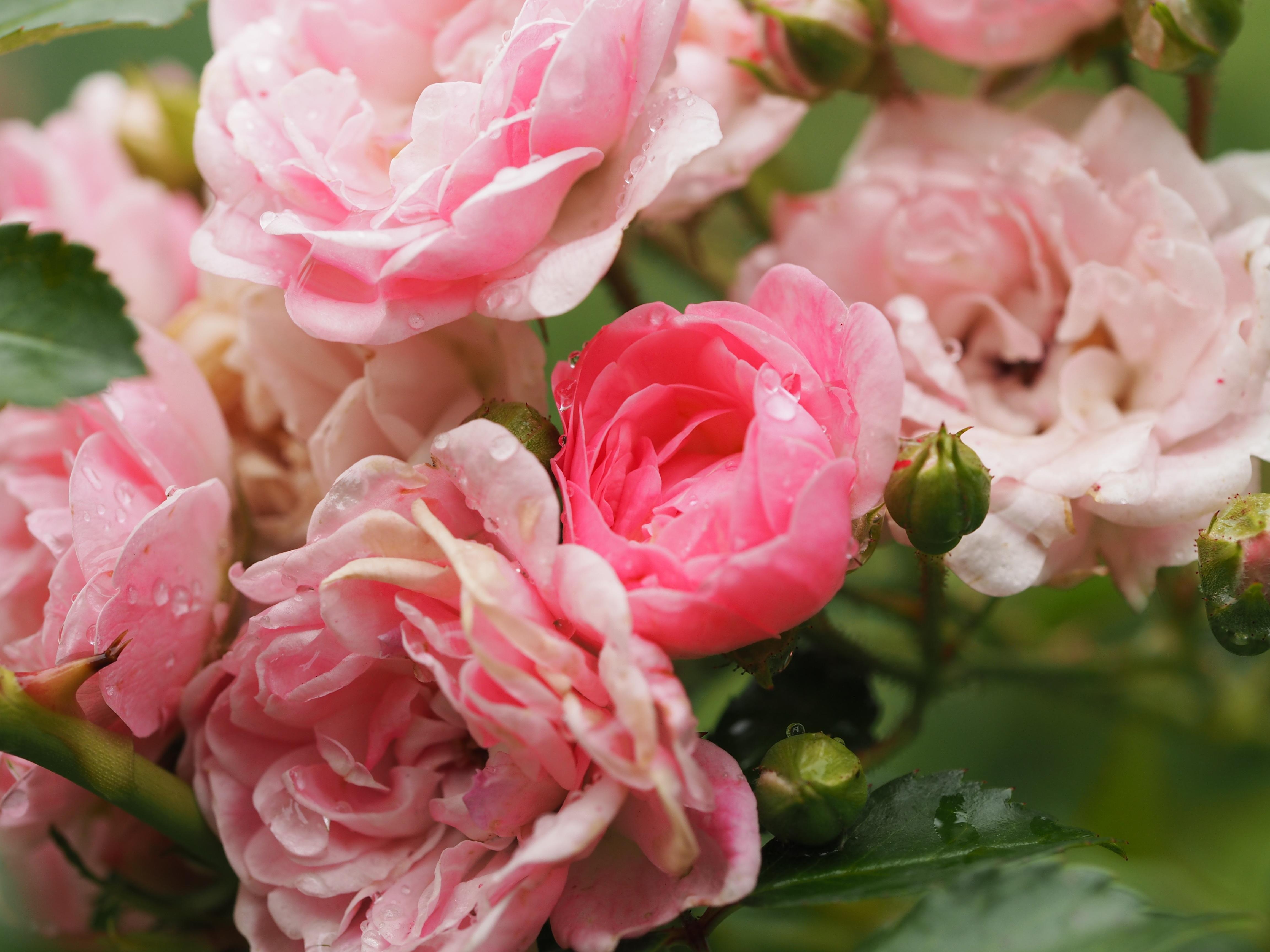 rose-2658659
