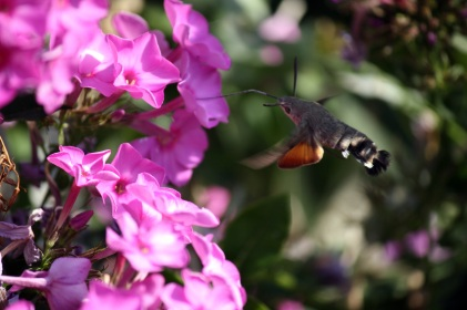 A hummingbird moth feeds on phlox.