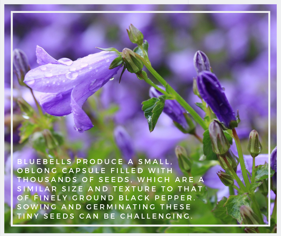 This image has an empty alt attribute; its file name is bluebell-seeds-1-1.png
