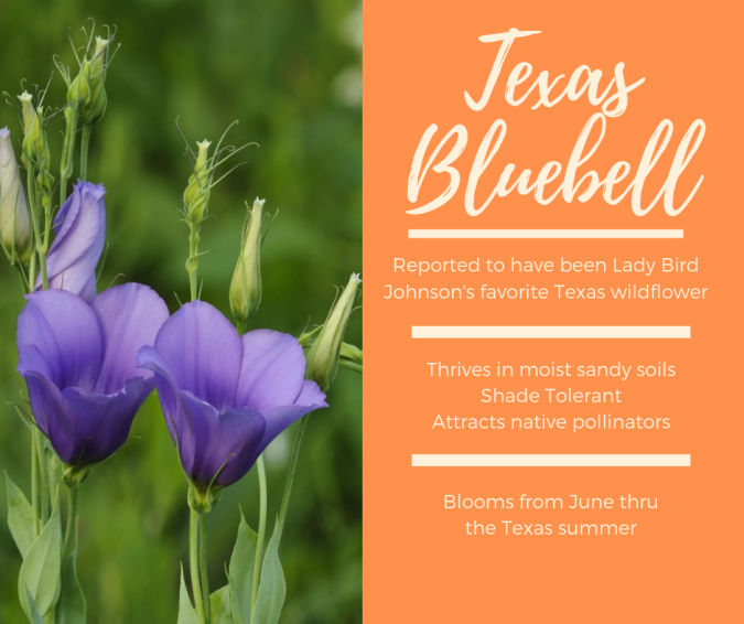 Copy of Texas Bluebell