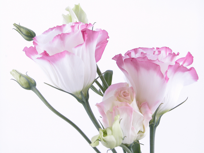 of bright lisanthus flowers on white background